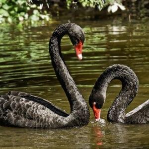 disruptive_black_swan